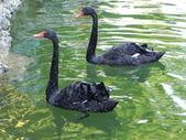 Black swans. — Stock Photo