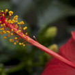 Stok fotoğraf: Photography of red Hibiscus flower's stamen.