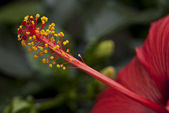 Photography of red Hibiscus flower's stamen. — Stock Photo