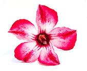 Single azalea flowers isolated — Stock Photo