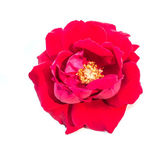 Single rose flowers isolated — 图库照片