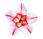 één azalea bloemen geïsoleerd — Stockfoto