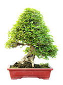 The azalea bonsai tree in a pot isolated on white background. — Foto Stock