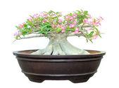 Azalea trees in pots isolated on white background — Stock Photo