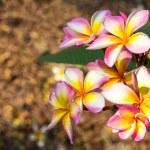 Branch of tropical flowers frangipani (plumeria) — Stock Photo #44869927
