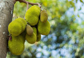 A tree branch full of jack fruits — Stock Photo