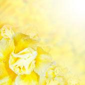 Flower background. Yellow azalea flowers  — Stock Photo