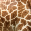 Genuine leather skin of giraffe — Stock Photo #48230275