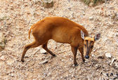 Picture of barking deer in Chiang Mai Zoo — Stock Photo