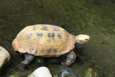 Picture of turtle in Chiang Mai Zoo — Stock Photo