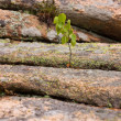 Stock Photo: Small birch
