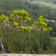 Stock Photo: Young knotty pine