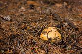 Nicee mushroom in grass — Stock Photo
