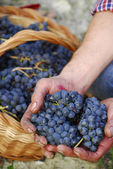 Hands holding bunch of grapes — Stock Photo