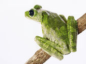 Green tree frog isolated on white background. — Stock Photo