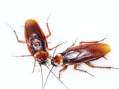 Two cockroach communicating on white background — Stock Photo