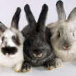 Three rabbits together — Stock Photo