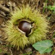 Fresh sweet chestnuts inside opening spikey case in the fall . - Stock Photo