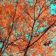 Stock Photo: Red leaves of aspen