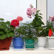 Window with flowerpots - Stock Photo