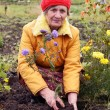The woman cultivates autumn flowers - Stockfoto
