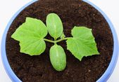 Cultivation of cucumber sprouts in a pot — Stock Photo