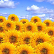 Sunflowers decorative — Stock Photo