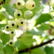 Ribes niveum — Stock Photo
