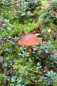 Aspen mushrooms — Stock Photo