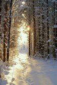 Sun beam in dark winter wood — Stock Photo