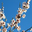 Flowers of almond tree — Stok Fotoğraf #13577418