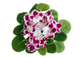 Fully blooming violet flower — Stock Photo