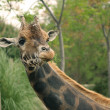 Giraffe eating grass — Stock Photo #24104637