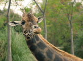 Giraffe eating grass — Stock Photo