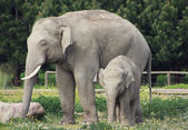 Asian elephants family (father and baby) — Stock Photo