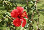 Chinese hibiscus flower — Stock Photo