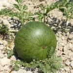 Ripening watermelon — Stock Photo #29027205