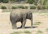 Asian baby elephant — Stock Photo