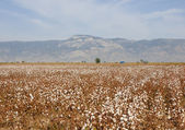 Ripe cotton field — Stock Photo