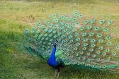 Male peacock — Stock Photo