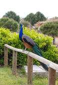 Sitting peacock — Stock Photo