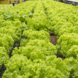 Stock Photo: Vegetables hydroponics