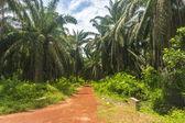 Plantación de palma aceitera — Foto de Stock