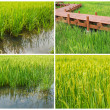 Stock Photo: Platform paddy farm