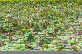 Lotus flowers and lotus leaves — Stock Photo