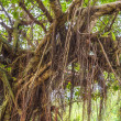 Root tree — Stock Photo