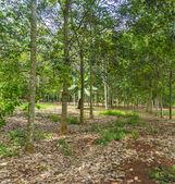 Rubber tree at farm estate — Stock Photo