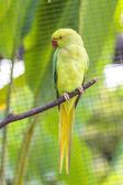 Alexandrine parakeet bird — Stock Photo