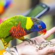Rainbow lorikeet bird — Stock Photo
