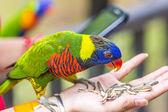 Aves loro arco iris — Foto de Stock